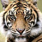 tiger glaring
